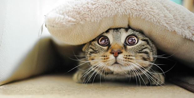 布団の中から見つめる猫