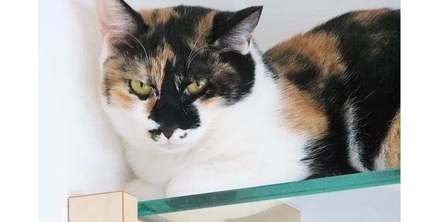 強化ガラス製のキャットウォークで伏せる三毛猫