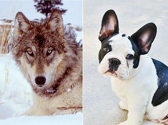 オオカミとフレブル