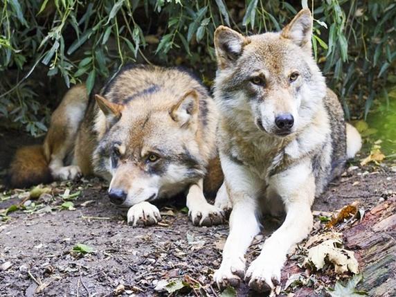 wolf-1388558_572
