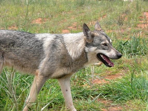 wolf-164427_572
