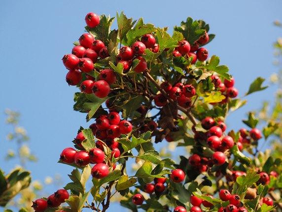 berries-693903_1920_572