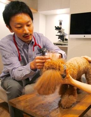 トイプードルの耳を診察するhiffcafe獣医師