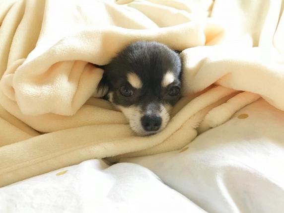 毛布に包まれているチワワ