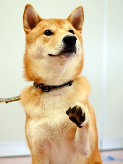 飼い主を見つめ手を上げる柴犬