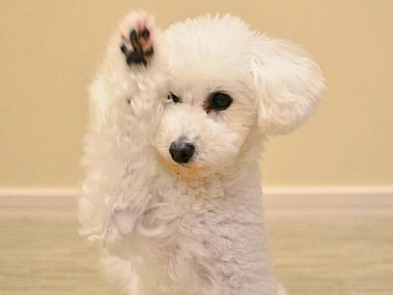 手を高く上げる白いトイプードル