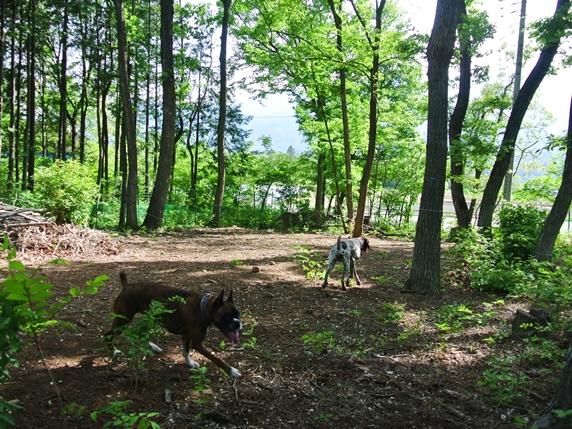 森のドッグランで遊ぶ犬2頭