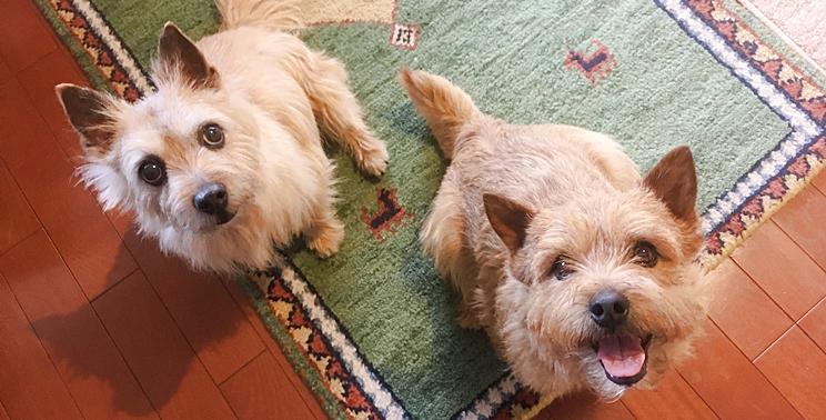 飼い主を見上げる楽しそうな2頭のノーリッチテリア犬