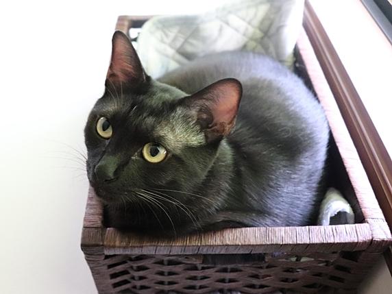 かごに入る黒猫