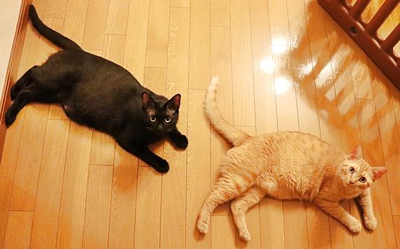 廊下に寝転がって上を見る黒猫と茶トラ猫