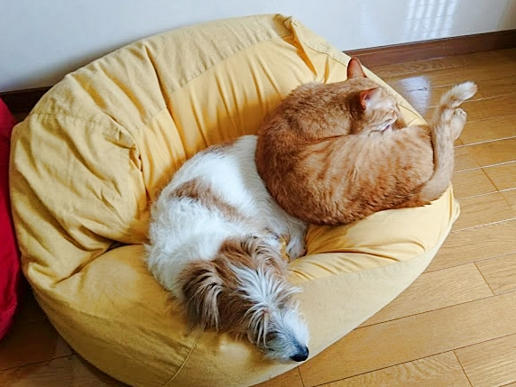 大きな黄色のクッションで眠るジャックラッセルテリアと茶トラ猫