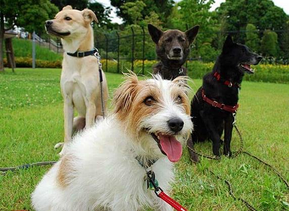 公園でお友達犬と並んで楽しそうなジャックラッセルテリア
