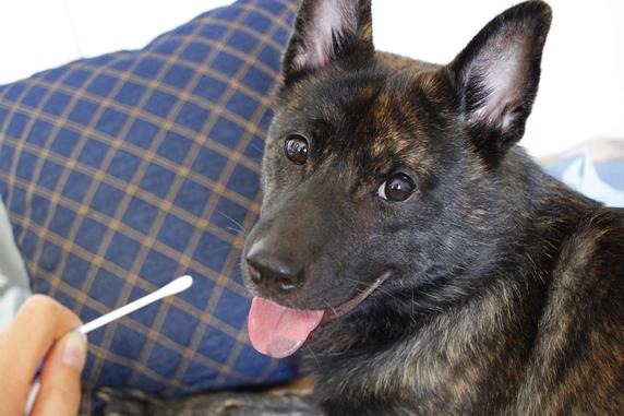 犬のDNA行動特性診断のために口腔内の粘膜を綿棒で採取