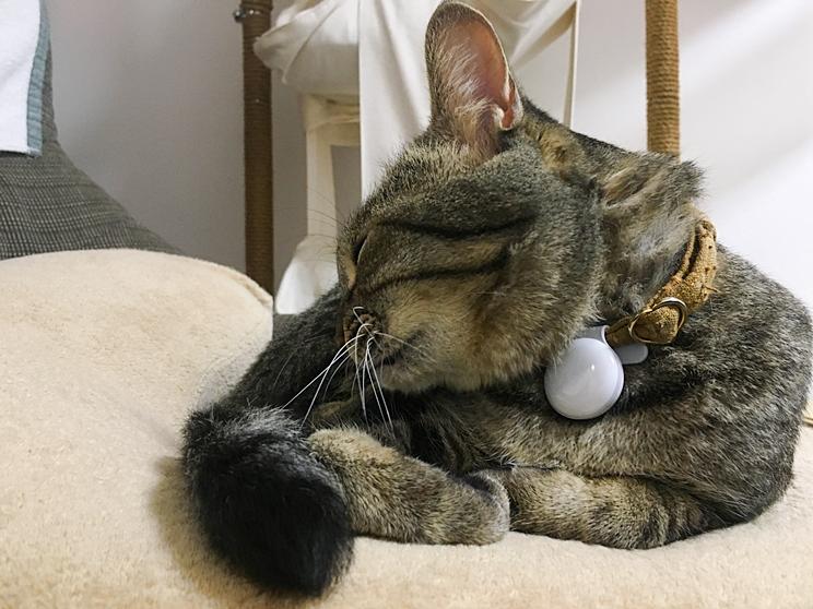 首輪に個体識別バッチをつけて寝るキジトラねこ