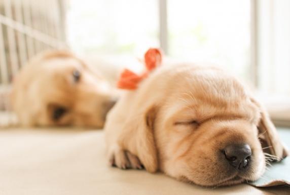 生まれたばかりのラブラドールレトリーバーの子犬