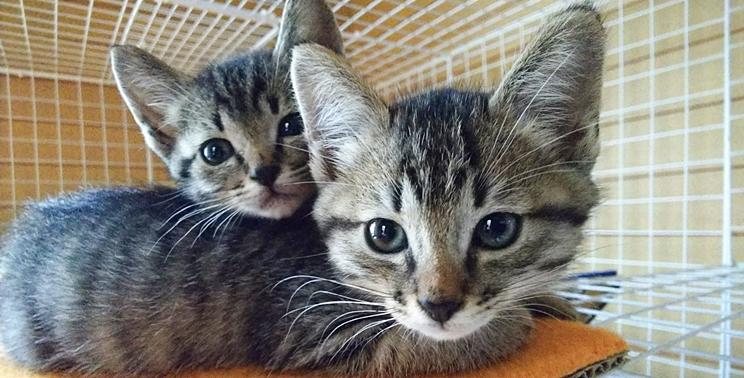 ケージにいる2匹のキジトラ猫