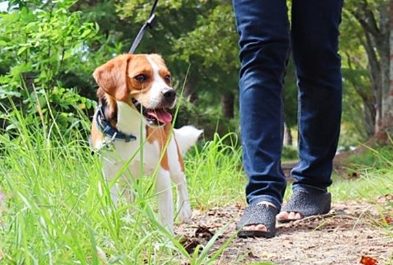 土や草のあるところを散歩するビーグル犬