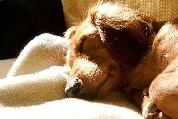 陽だまりで眠るダックスフンド