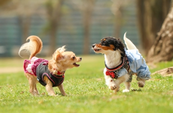 ドッグランで遊ぶ2頭の小型犬