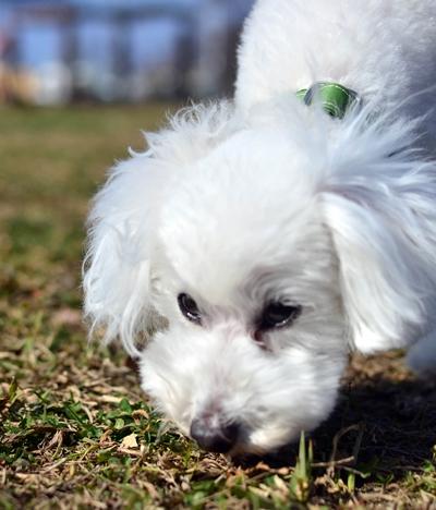 芝生のにおいを嗅ぐ白いトイプードル