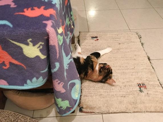 ケージから半分出て寝る三毛猫