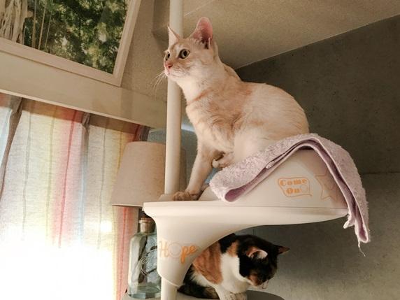 キャットタワーにのぼるクリーム色のトラ猫