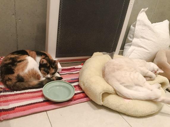 丸くなって寝る三毛猫とクリーム色のトラ猫