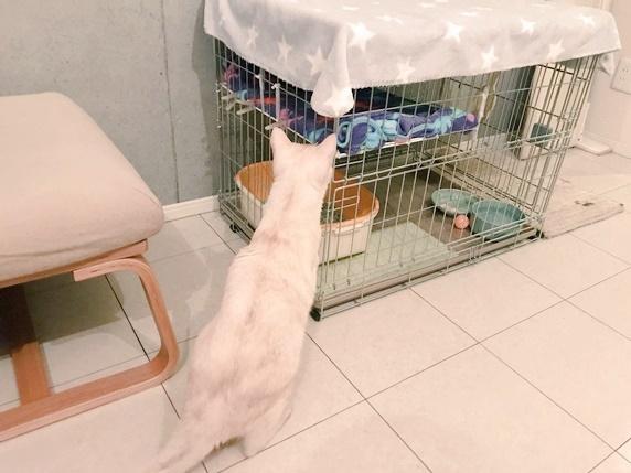ケージの中を外からのぞき込むクリーム色のトラ猫