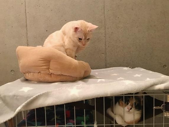 ケージの上に寝るクリーム色の猫
