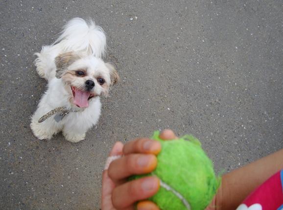 テニスボールを見るシーズー