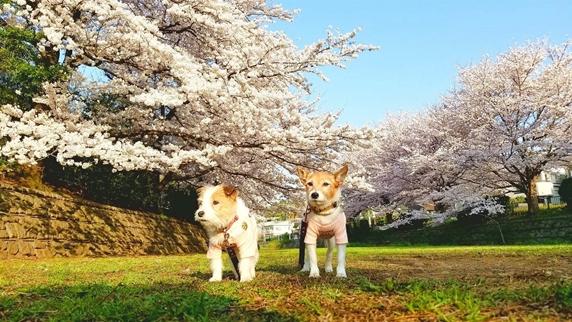 桜満開の野川公園をお散歩する2頭のジャックラッセルテリア