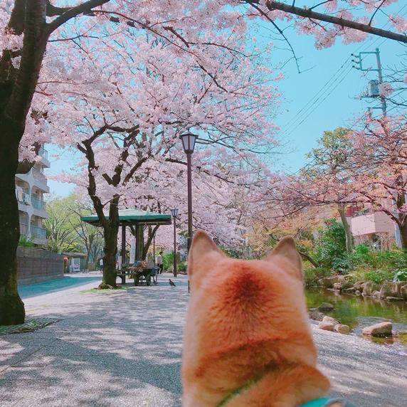 江戸川区の桜小道をお散歩する日本犬ミックスの桃太郎さん