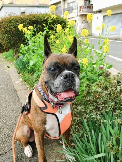 菜の花とボクサー犬