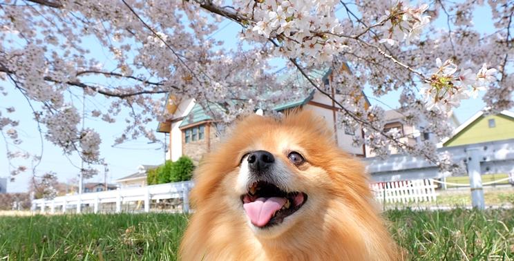 桜満開の土手で笑顔のポメラニアン