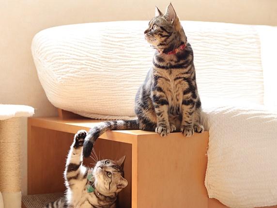 箱の上に座るアメリカンショートヘアのしっぽを狙うもう1匹のアメリカンショートヘア