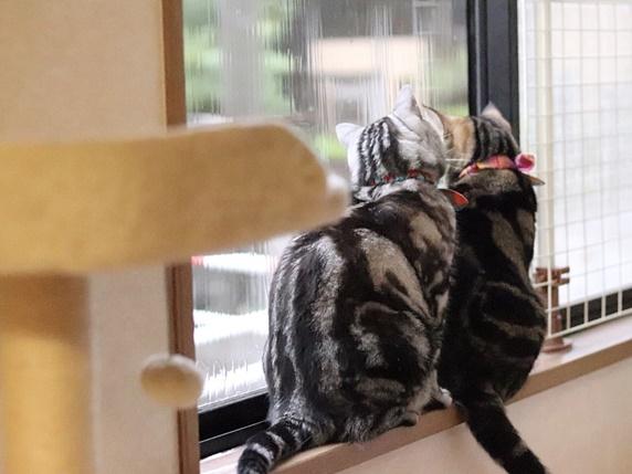 窓際に座り外を眺める2匹のアメリカンショートヘア