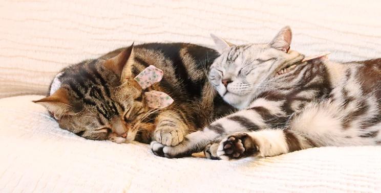 寄り添って眠る2匹のアメリカンショートヘア