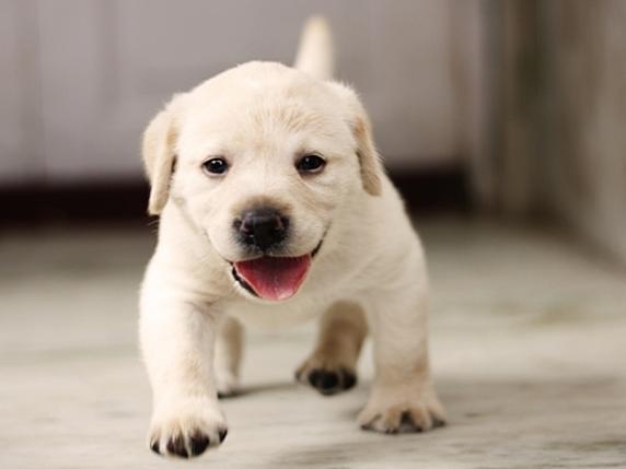 ラブラドールレトリーバーの子犬