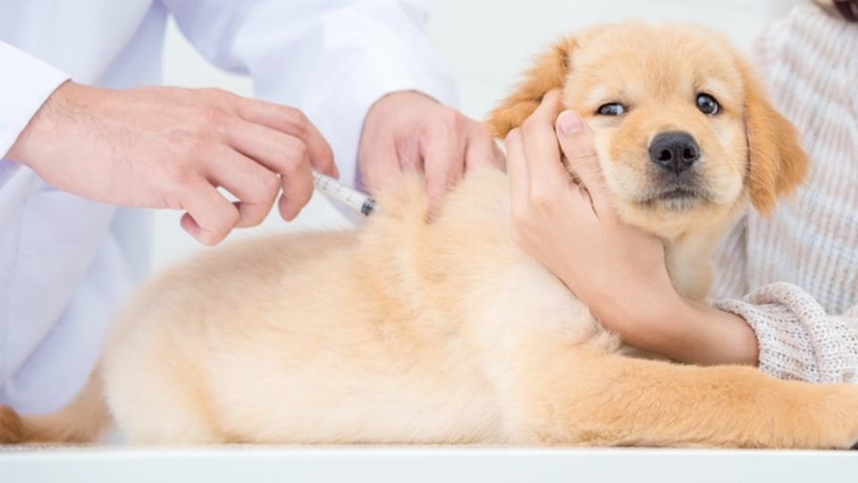 犬ワクチンの正しい知識。価格や間隔、副作用をご紹介