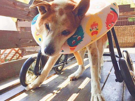 四輪タイプの車いすに乗る老犬