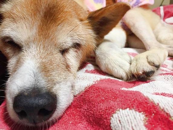 アスル 介護 ホーム 老 犬