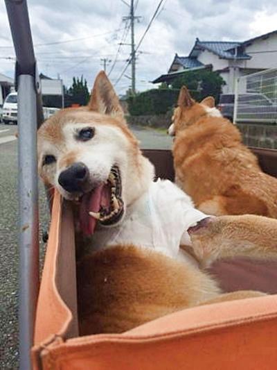 カートに乗って散歩する柴犬の老犬
