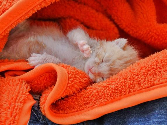 赤いタオルにくるまれて眠る生後2週間ぐらいの茶トラの子猫