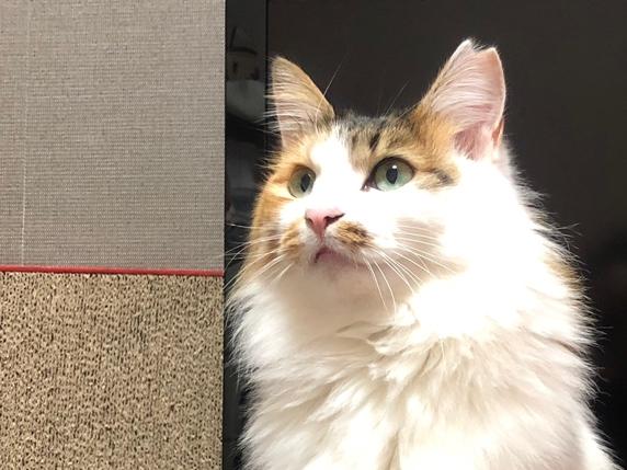 左耳がV字カット(避妊手術済)された長毛三毛猫