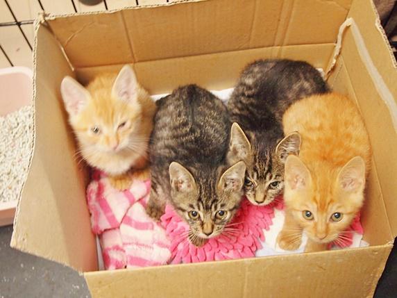 段ボール箱に入った茶トラ柄の子猫2匹とキジトラ柄の子猫2匹