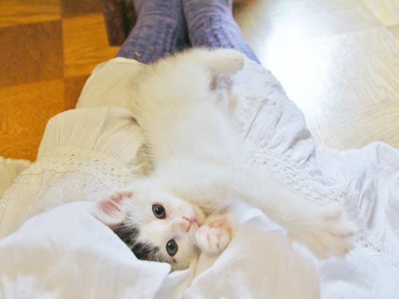 膝の上で寝転ぶ3ヵ月ぐらいの白キジ柄の子猫