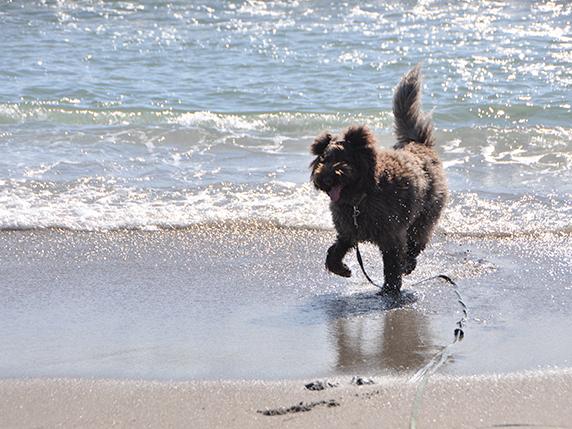 南房総の海を楽しそうに走るラブラトゥードゥル犬