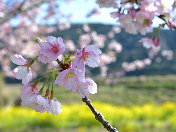 菜の花と桜が咲く道の駅とみうら枇杷倶楽部