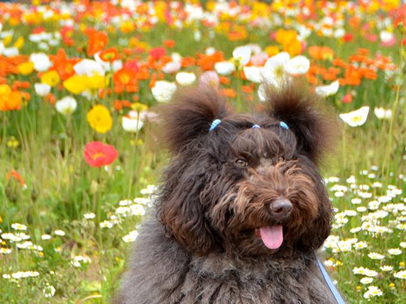 ポピーを背景に写真を撮るこげ茶色のラブラドゥードゥル犬