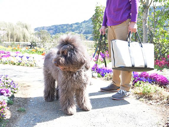 道の駅 とみうら 枇杷倶楽部で花が咲く中お散歩するラブラドゥードゥル犬